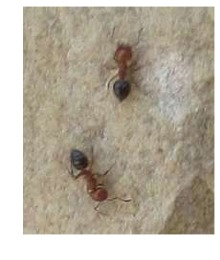 Caprenter Ants in Plano TX