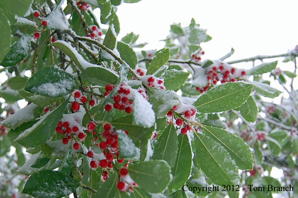 berries-in-the-snow